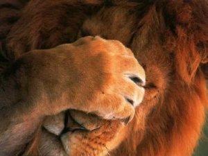 leão com vergonha